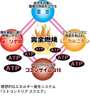 理想的なエネルギー産生システム「ミトコンドリア スクエア」