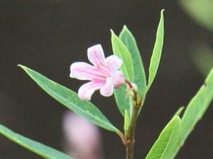 ラフマの花木